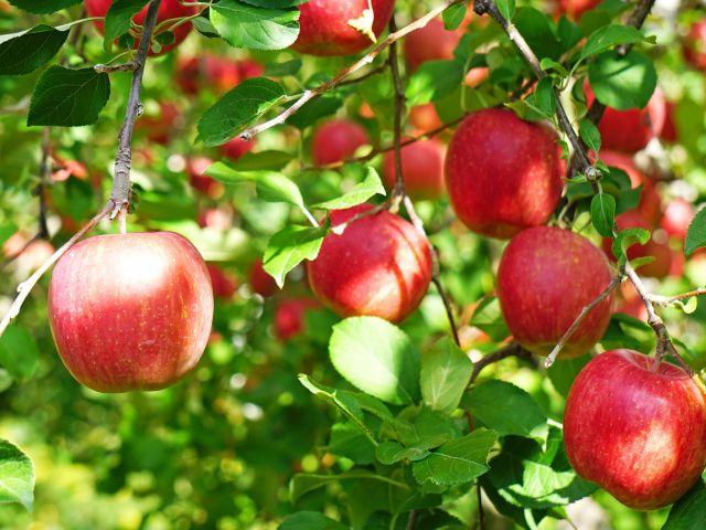 りんご狩追加