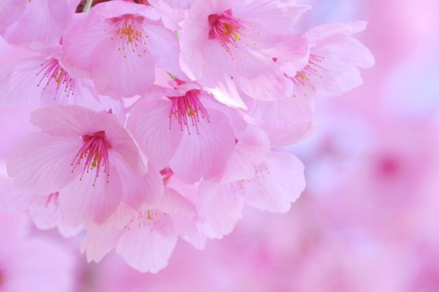 天神博多桜