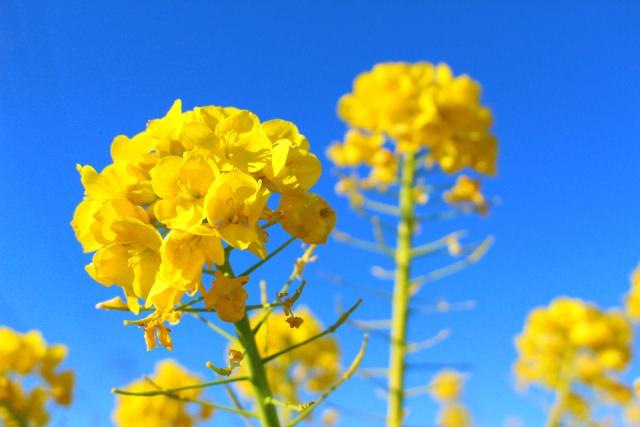 福岡菜の花
