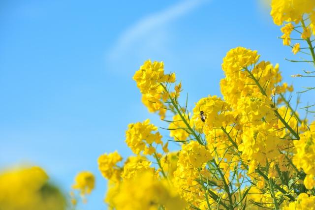 福岡菜の花1
