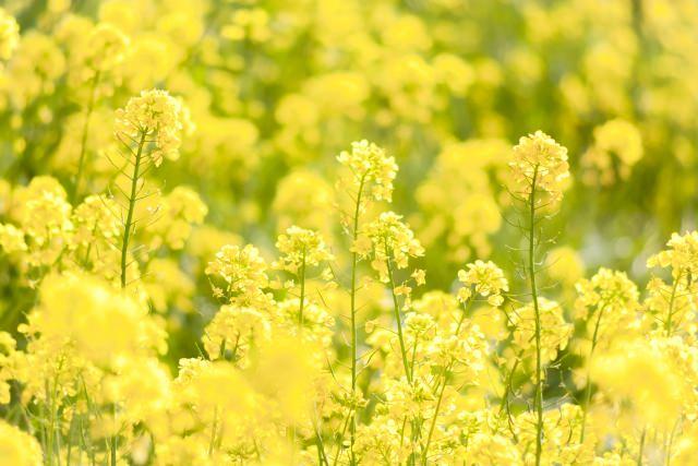福岡菜の花2