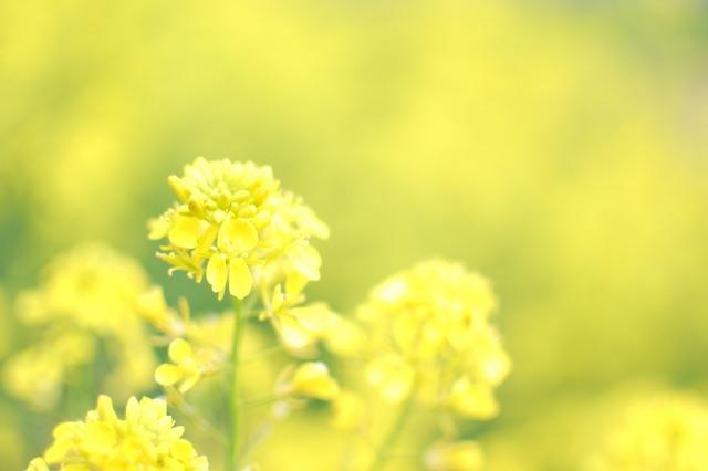 福岡菜の花5